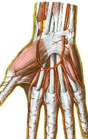 Сухожилия руки