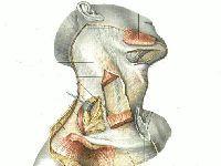 Фасции шеи