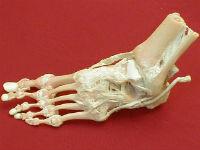 Суставы и кости стопы